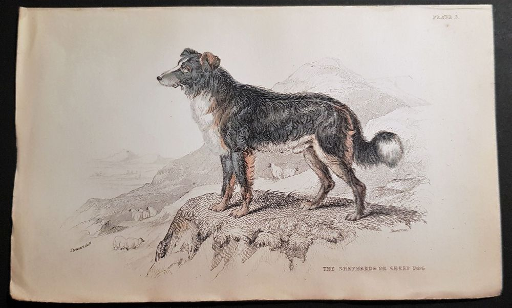 Shepherds Dog. Kol.Stahlstich, ca 1845