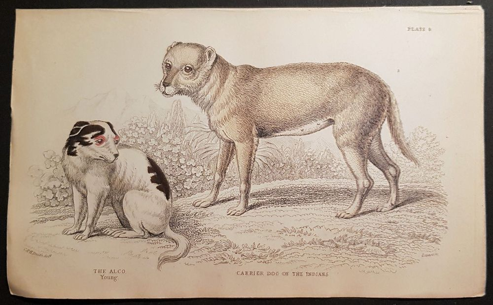Carrier Dog of the Indians.   ca. 1845