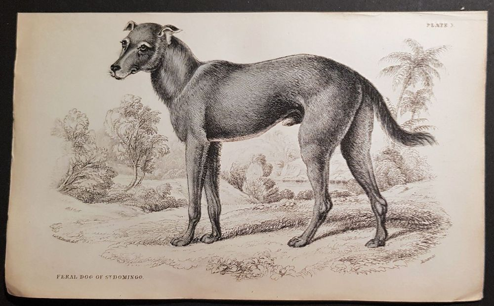 Feral Dog of St. Domingo.  Ca. 1845