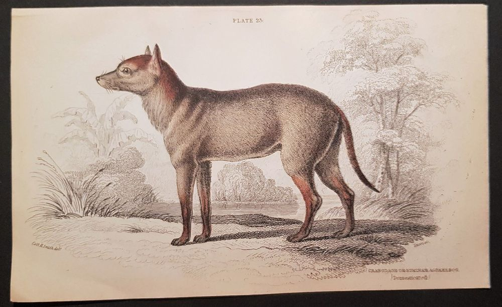 Crabodage or Surinam Aguara-Dog