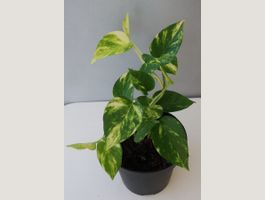 Junger Philodendron