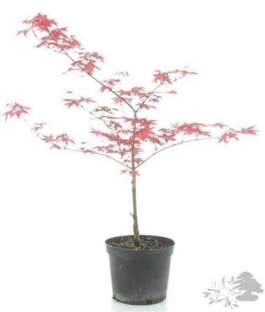 acer palmatum japanischer ahorn 40cm in bremblens kaufen bei. Black Bedroom Furniture Sets. Home Design Ideas